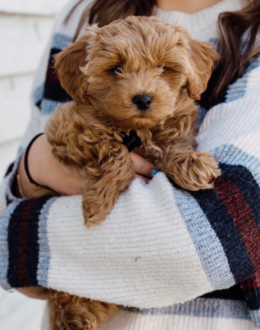 """Quarantine Puppy: Hank is a 3-month old cattle poochon puppy. He was born in Utah and brought here to Washington in February as a surprise to the Whitney family. """"He definitely makes me a lot happier person,"""" senior Olivia Whitney said about her new puppy."""